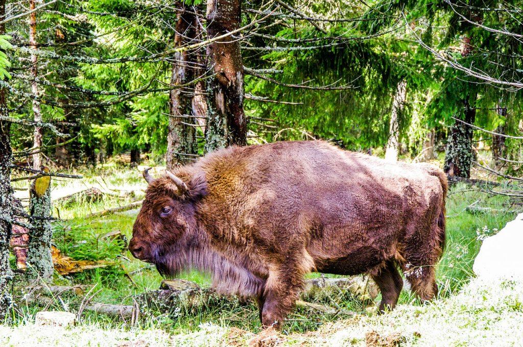 Krafttier Bison